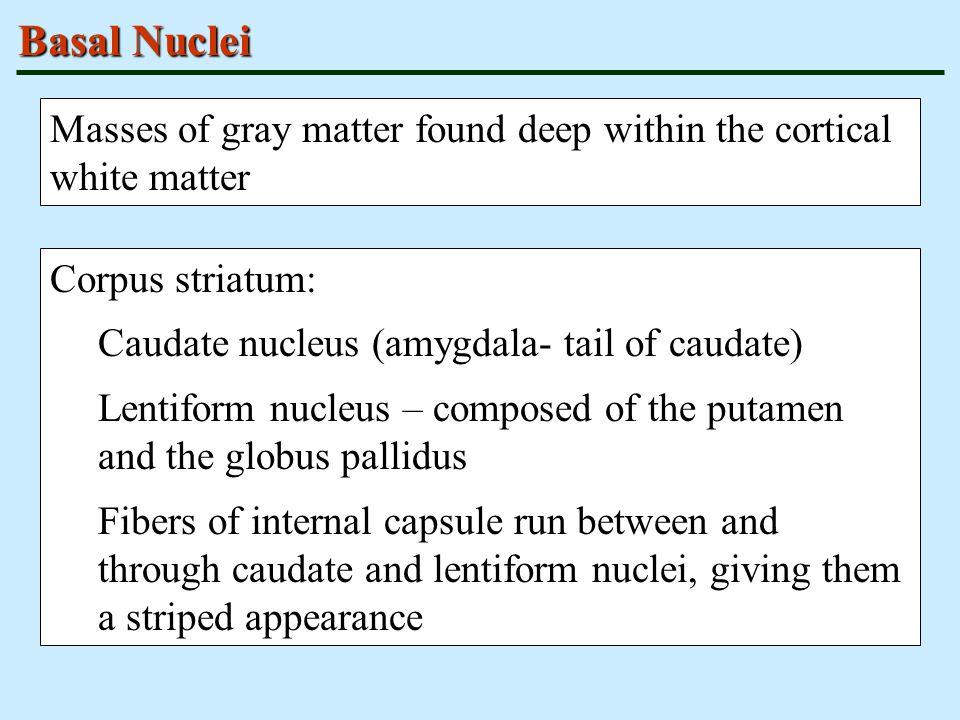 Basal Nuclei Masses of gray matter found deep within the cortical white matter Corpus striatum: Caudate nucleus (amygdala- tail of caudate) Lentiform