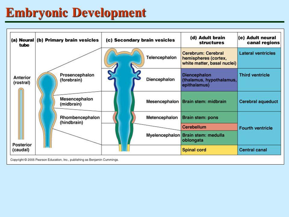 Sensory Areas Primary somatosensory cortex Somatosensory association cortex Visual and auditory areas Olfactory, gustatory, and vestibular cortices