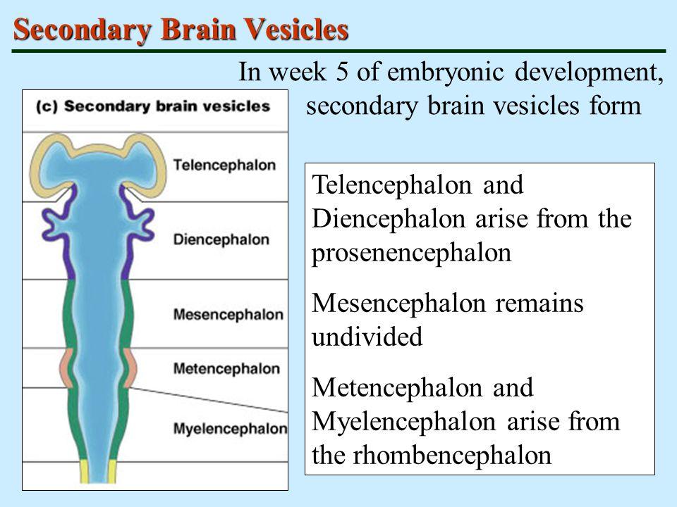 Adult Brain Structures Secondary brain vesicles differentiate into adult brain structures Telencephalon – cerebrum: cortex, white matter, and basal nuclei Diencephalon – thalamus, hypothalamus Mesencephalon – brain stem: midbrain Metencephalon – brain stem: pons Myelencephalon – brain stem: medulla oblongata