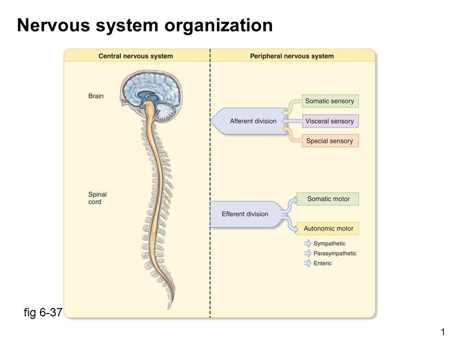 22 Autonomic system distribution fig 6-44 parasympathetic: craniosacral outflow long preganglionic especially vagus (X) sympathetic: thoracolumbar outflow short preganglionic