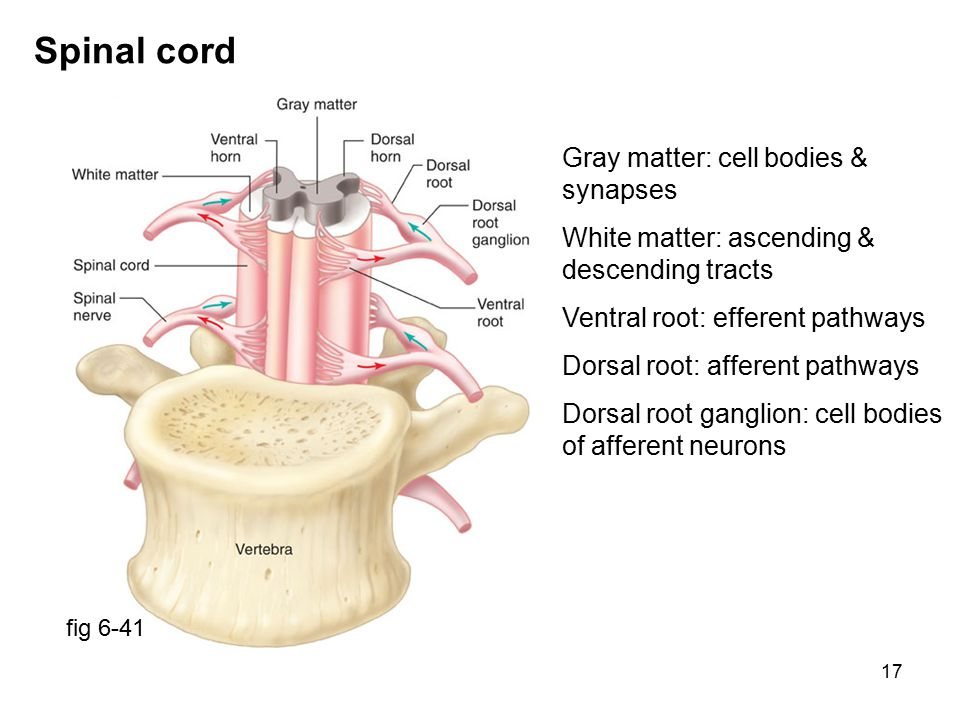 17 Spinal cord fig 6-41 Gray matter: cell bodies & synapses White matter: ascending & descending tracts Ventral root: efferent pathways Dorsal root: afferent pathways Dorsal root ganglion: cell bodies of afferent neurons
