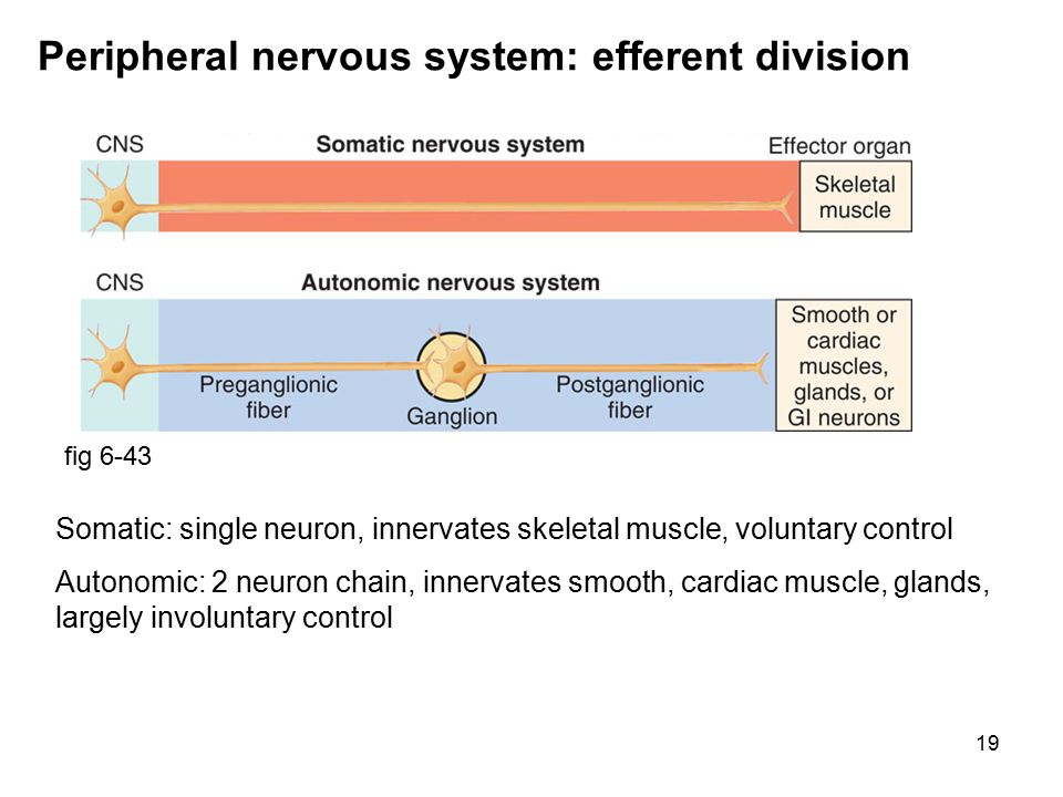 19 Peripheral nervous system: efferent division fig 6-43 Somatic: single neuron, innervates skeletal muscle, voluntary control Autonomic: 2 neuron chain, innervates smooth, cardiac muscle, glands, largely involuntary control