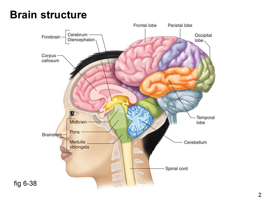 13 Limbic system Components: thalamus, hypothalamus, hippocampus, septal nuclei, olfactory bulbs, cingulate gyrus Functions: emotional responses (subjective feeling & behavior), memory fig 6-40