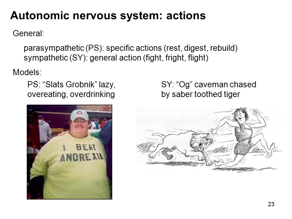 23 Autonomic nervous system: actions General: parasympathetic (PS): specific actions (rest, digest, rebuild) sympathetic (SY): general action (fight, fright, flight) Models: SY: Og caveman chased by saber toothed tiger PS: Slats Grobnik lazy, overeating, overdrinking
