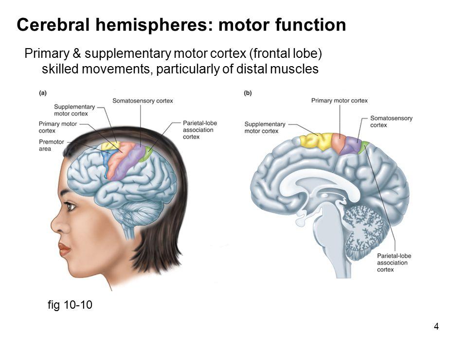 5 Cerebral hemispheres: motor function fig 10-11 Primary motor cortex motor homunculus ; area related to fine motor control