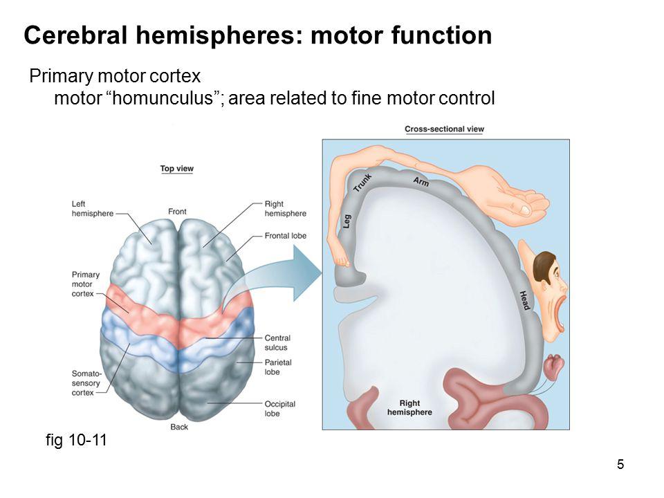 6 Cerebral hemispheres: basal nuclei fig 6-39 Basal nuclei coordination of motor activity, control movement & posture defective in Parkinson's disease Corpus callosum: connection between right & left hemispheres