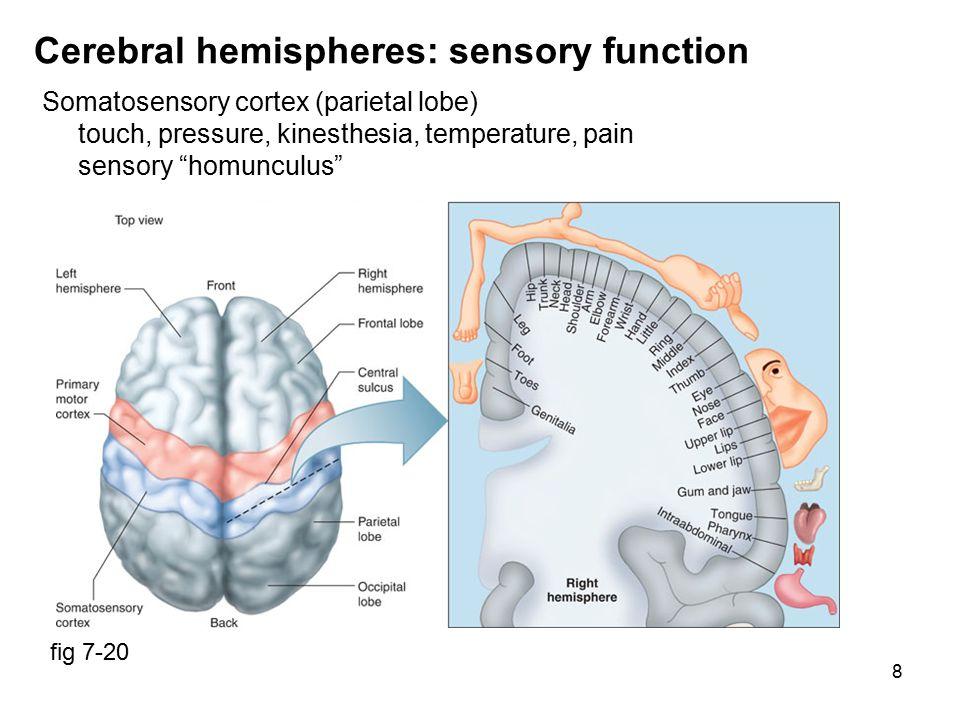 9 Cerebral hemispheres: sensory function Olfactory cortex (frontal lobe) only sense not via thalamus, ~1000 odorant receptors afferent fibers to olfactory cortex & limbic system fig 7-45