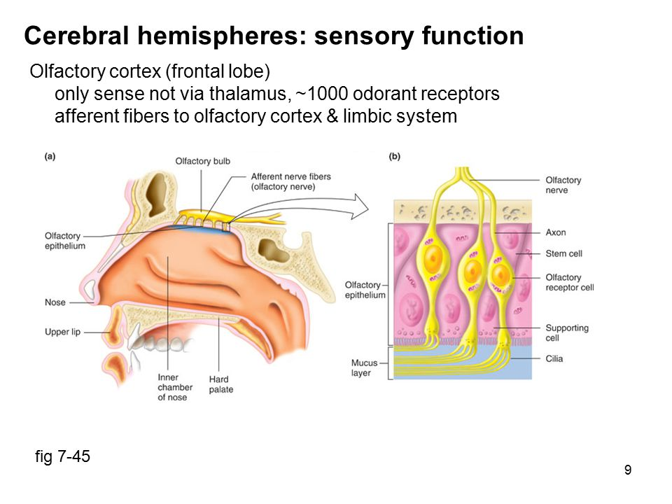 10 Cerebral hemispheres: learning & memory Declarative memory (language, names, faces, events, facts) Short term: involves hippocampus & other temporal lobe structures ongoing graded or action potentials susceptible to shock, trauma, coma, electroconvulsive therapy Long term: many areas of association cortex involves protein synthesis,  synapses,  post-synaptic receptors Procedural memory (actions, emotional responses, fears) Short term various parts of brain Long term basal nuclei, cerebellum, sensorimotor cortex