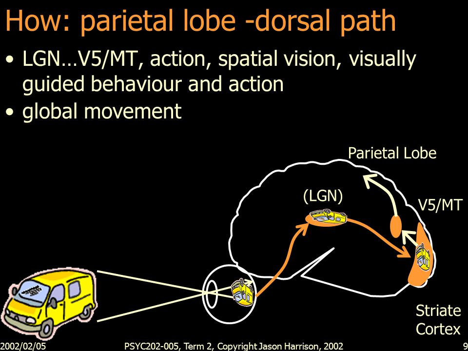 2002/02/05PSYC202-005, Term 2, Copyright Jason Harrison, 20029 How: parietal lobe -dorsal path LGN…V5/MT, action, spatial vision, visually guided behaviour and action global movement (LGN) Striate Cortex V5/MT Parietal Lobe
