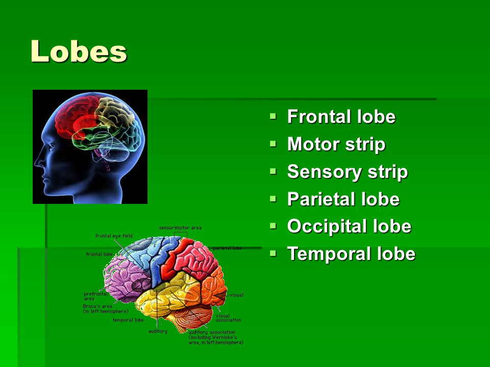 Lobes  Frontal lobe  Motor strip  Sensory strip  Parietal lobe  Occipital lobe  Temporal lobe