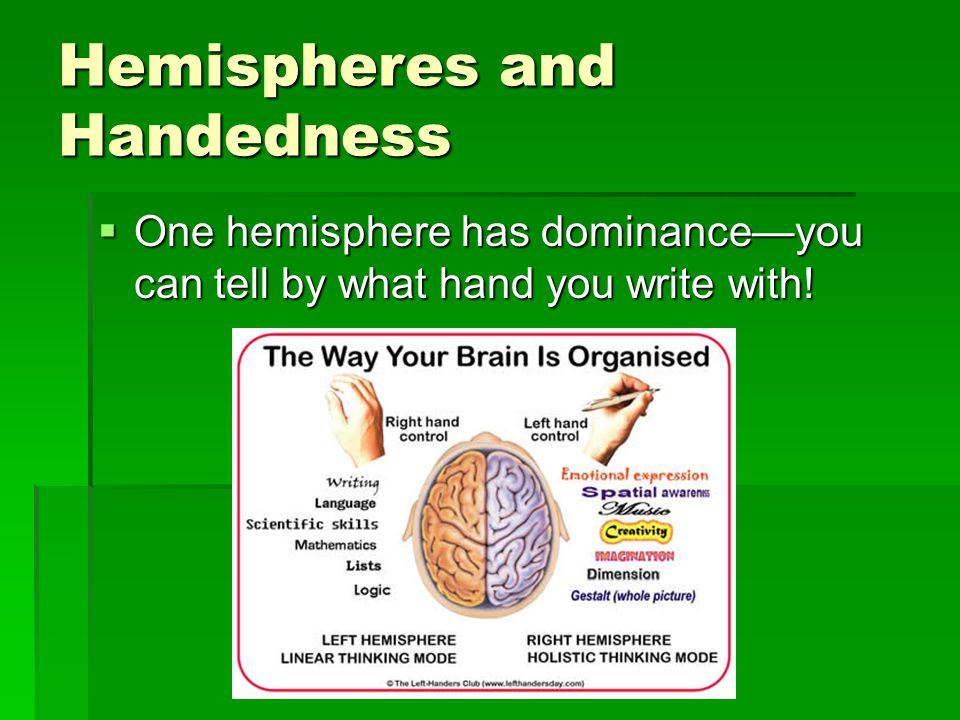 Hemispheres and Handedness  One hemisphere has dominance—you can tell by what hand you write with!