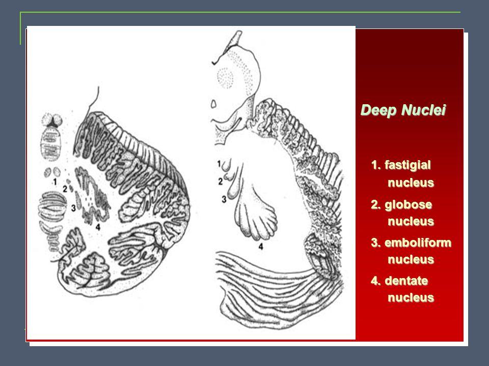 1. fastigial nucleus nucleus 2. globose nucleus nucleus 3. emboliform nucleus nucleus 4. dentate nucleus nucleus Deep Nuclei