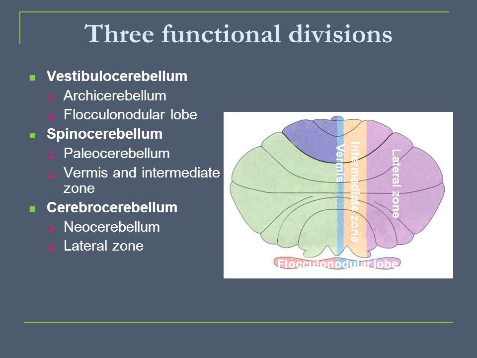 Three functional divisions Vestibulocerebellum  Archicerebellum  Flocculonodular lobe Spinocerebellum  Paleocerebellum  Vermis and intermediate zo