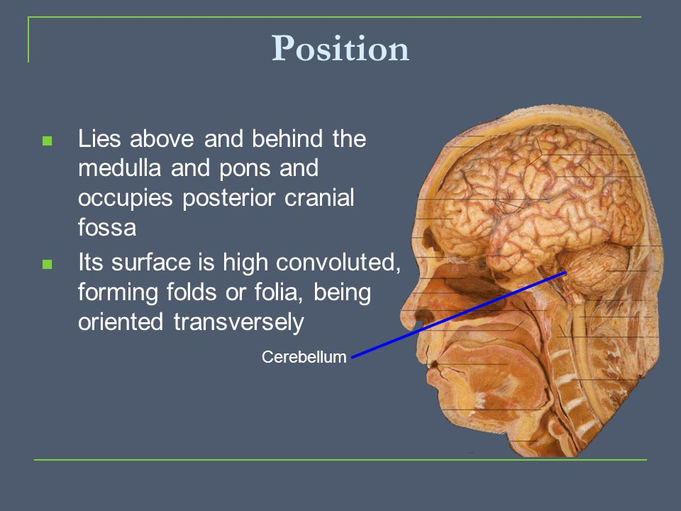 Position Lies above and behind the medulla and pons and occupies posterior cranial fossa Its surface is high convoluted, forming folds or folia, being