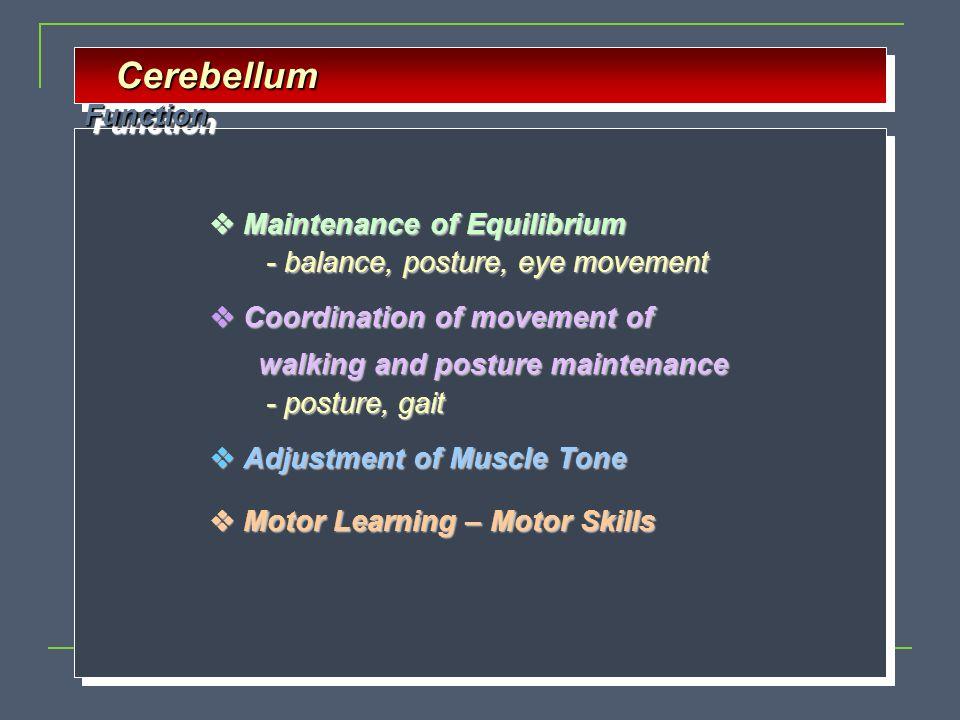 Cerebellum Function Cerebellum Function  Maintenance of Equilibrium - balance, posture, eye movement - balance, posture, eye movement  Coordination