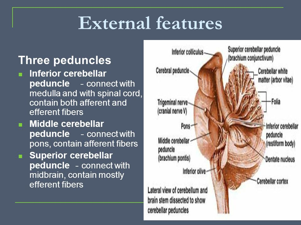 External features Three peduncles Inferior cerebellar peduncle - connect with medulla and with spinal cord, contain both afferent and efferent fibers