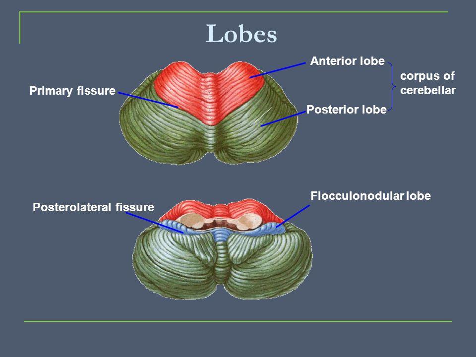 Lobes Primary fissure Posterolateral fissure Flocculonodular lobe Anterior lobe Posterior lobe corpus of cerebellar
