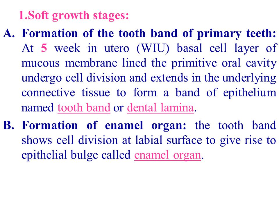 1.Soft growth stages: A.Formation of the tooth band of primary teeth: At 5 week in utero (WIU) basal cell layer of mucous membrane lined the primitive