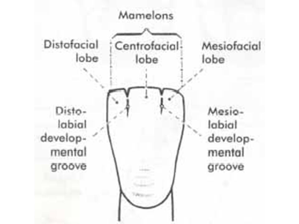 A developmental groove is a shallow groove or line between the primary parts or lobes of the crown or root.