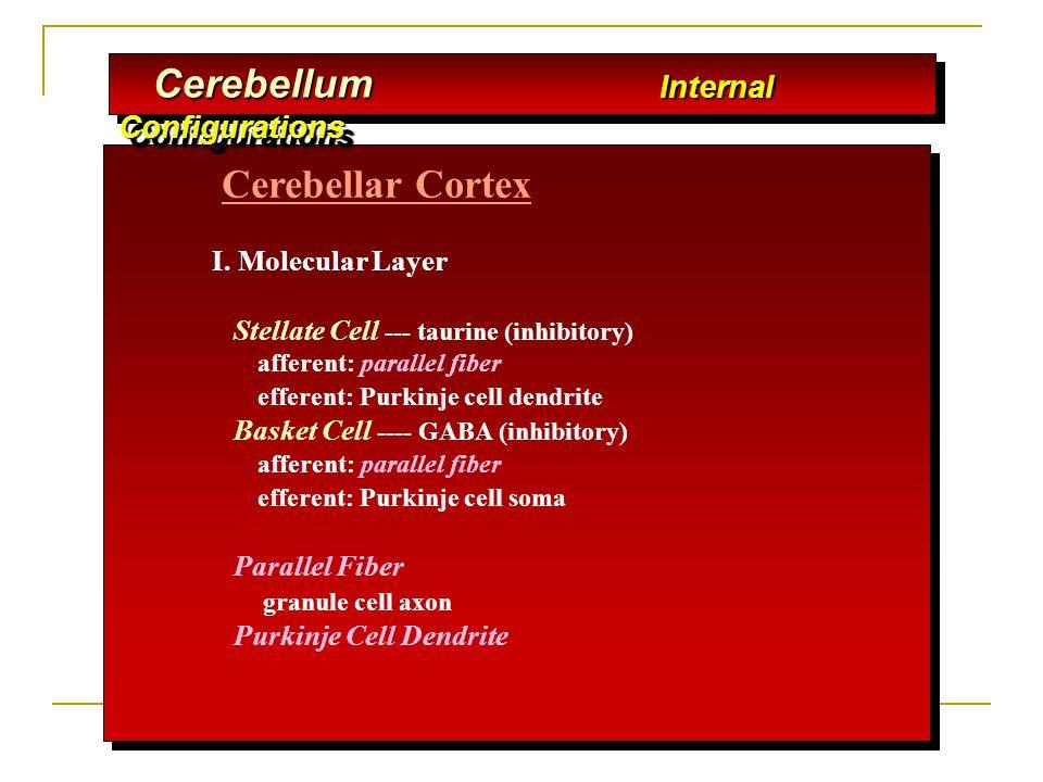 Cerebellar Cortex I. Molecular Layer Stellate Cell --- taurine (inhibitory) afferent: parallel fiber efferent: Purkinje cell dendrite Basket Cell ----