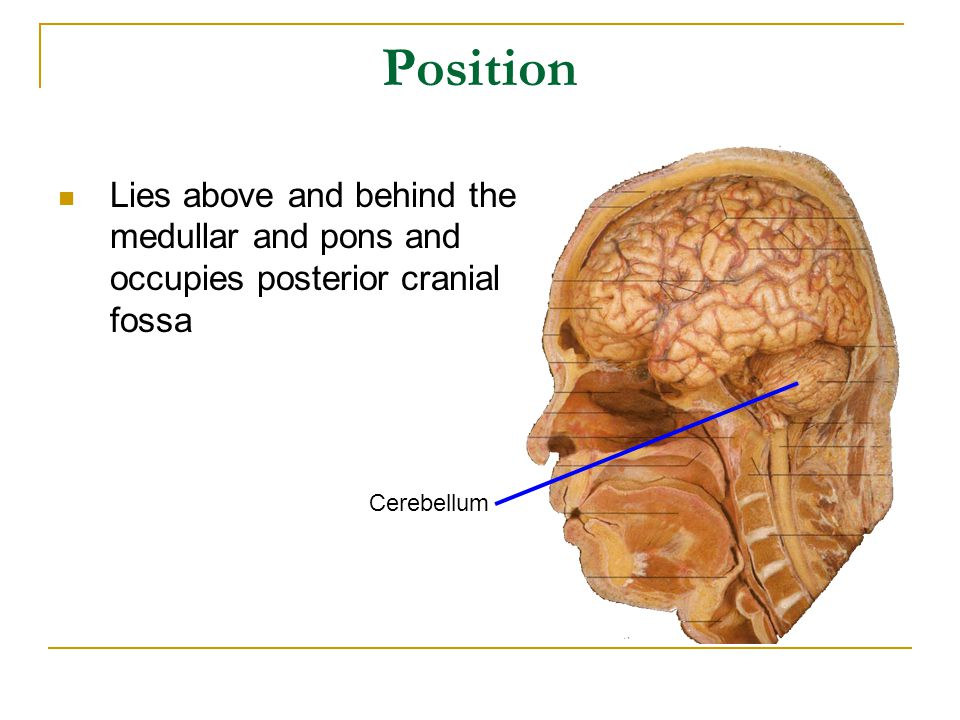 Position Lies above and behind the medullar and pons and occupies posterior cranial fossa Cerebellum