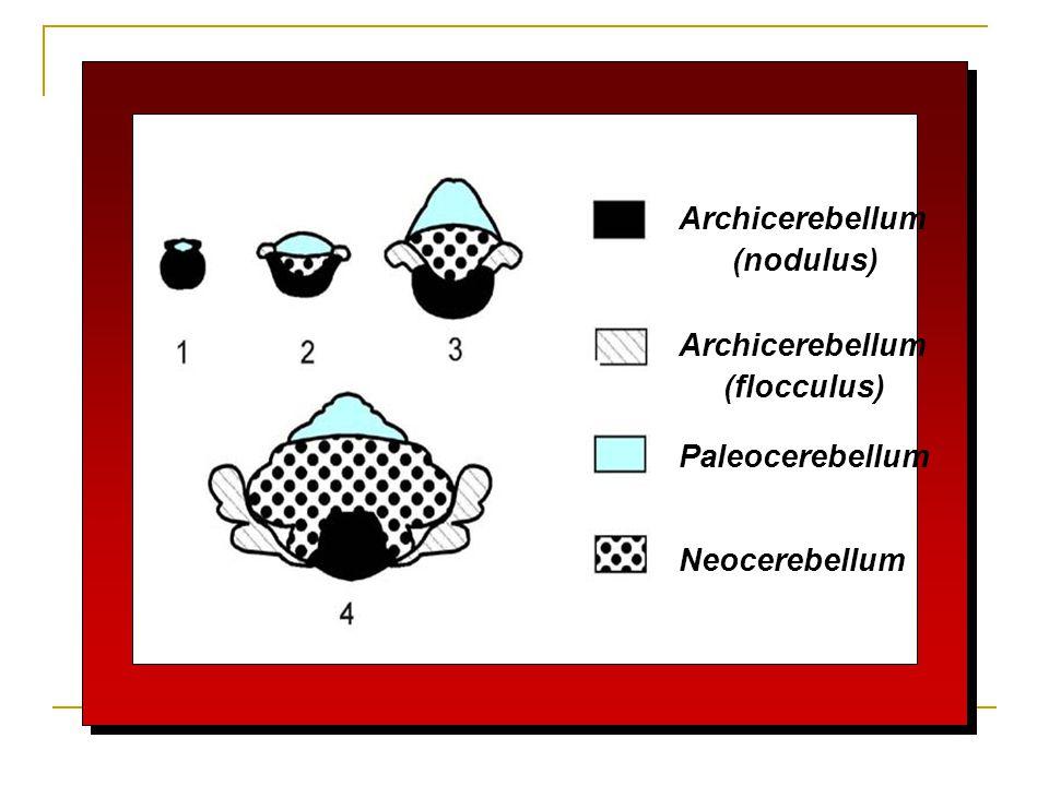 Archicerebellum (nodulus) Archicerebellum (flocculus) Paleocerebellum Neocerebellum