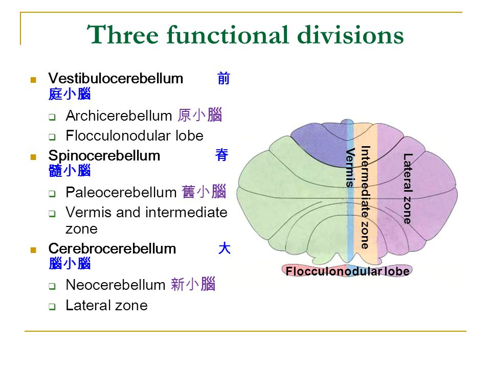 Three functional divisions Vestibulocerebellum 前 庭小腦  Archicerebellum 原小 腦  Flocculonodular lobe Spinocerebellum 脊 髓小腦  Paleocerebellum 舊小 腦  Vermis and intermediate zone Cerebrocerebellum 大 腦小腦  Neocerebellum 新小 腦  Lateral zone Flocculonodular lobe Vermis Intermediate zone Lateral zone