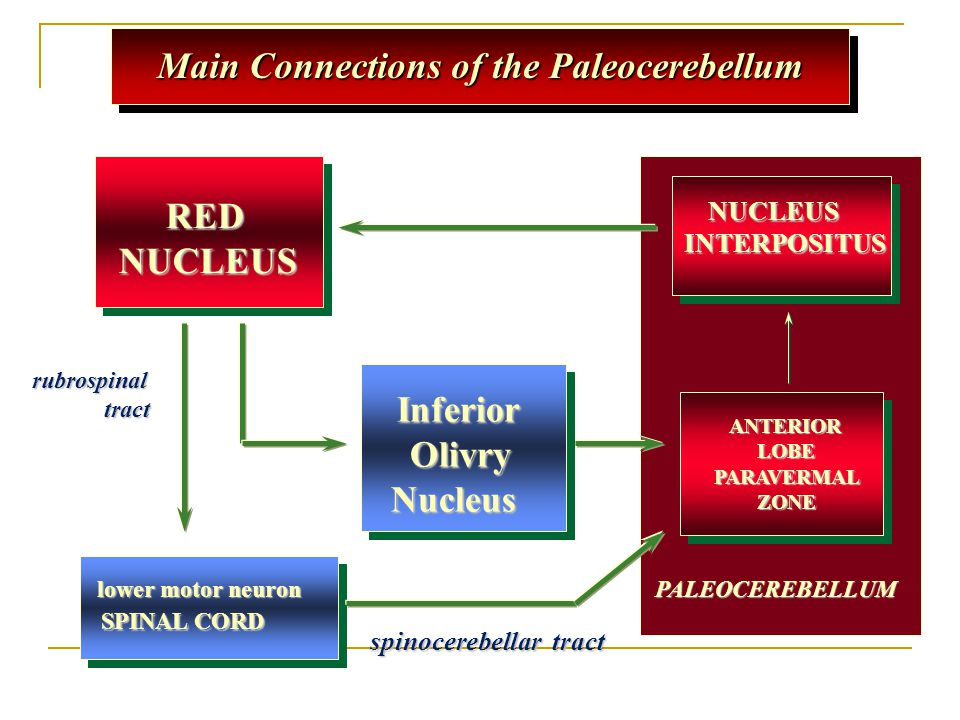 Main Connections of the Paleocerebellum lower motor neuron lower motor neuron SPINAL CORD rubrospinal tract tract NUCLEUS NUCLEUSINTERPOSITUS Inferior Inferior Olivry OlivryNucleus ANTERIOR ANTERIOR LOBE LOBEPARAVERMAL ZONE ZONE PALEOCEREBELLUM RED NUCLEUS RED NUCLEUS spinocerebellar tract