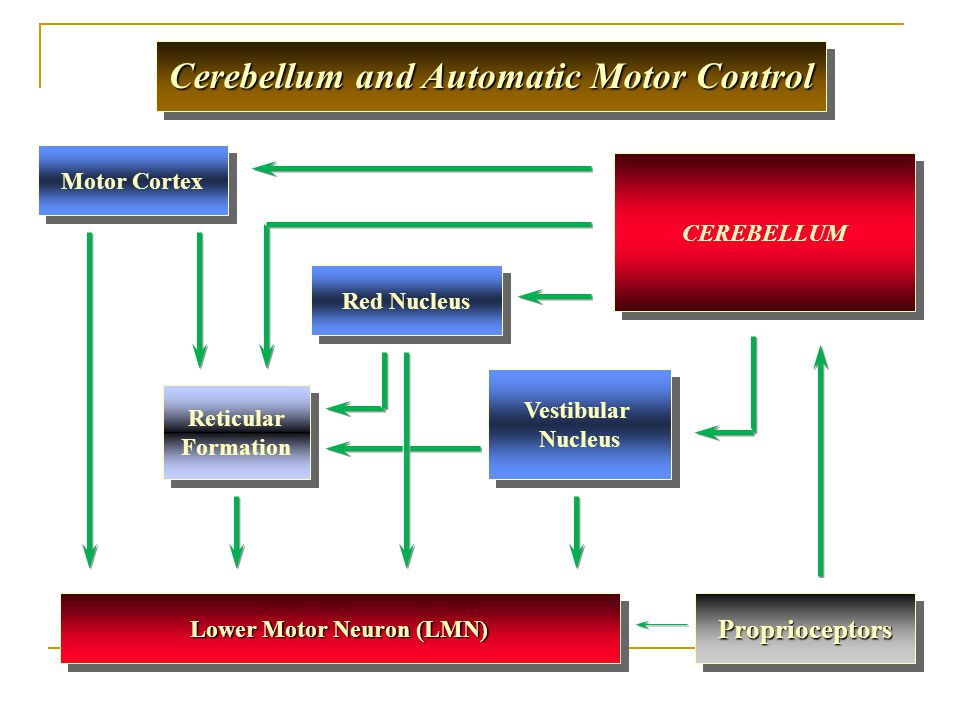 Reticular Formation Reticular Formation CEREBELLUM Cerebellum and Automatic Motor Control Lower Motor Neuron (LMN) Motor Cortex Red Nucleus Vestibular