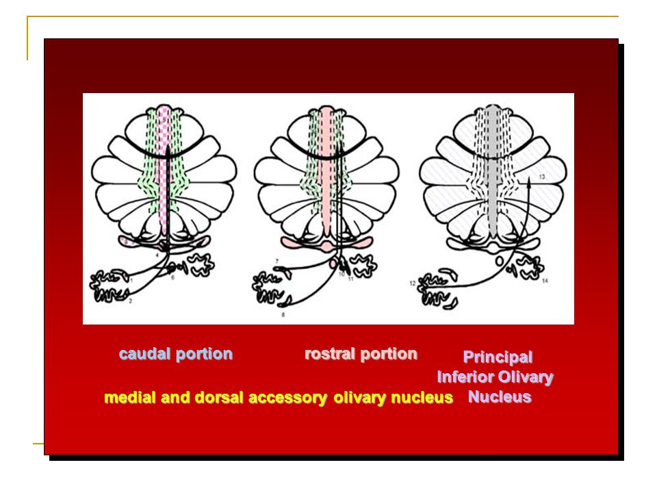 medial and dorsal accessory olivary nucleus caudal portion rostral portion Principal Inferior Olivary Nucleus