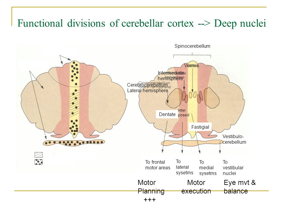 Functional divisions of cerebellar cortex --> Deep nuclei Cerebrocerebellum Lateral hemisphere Dentate Intermediate hemisphere Inter posed To lateral sysetms Spinocerebellum Vermis Fastigial To medial sysetms To frontal motor areas Motor Planning +++ Motor execution Vestibulo- cerebellum To vestibular nuclei Eye mvt & balance