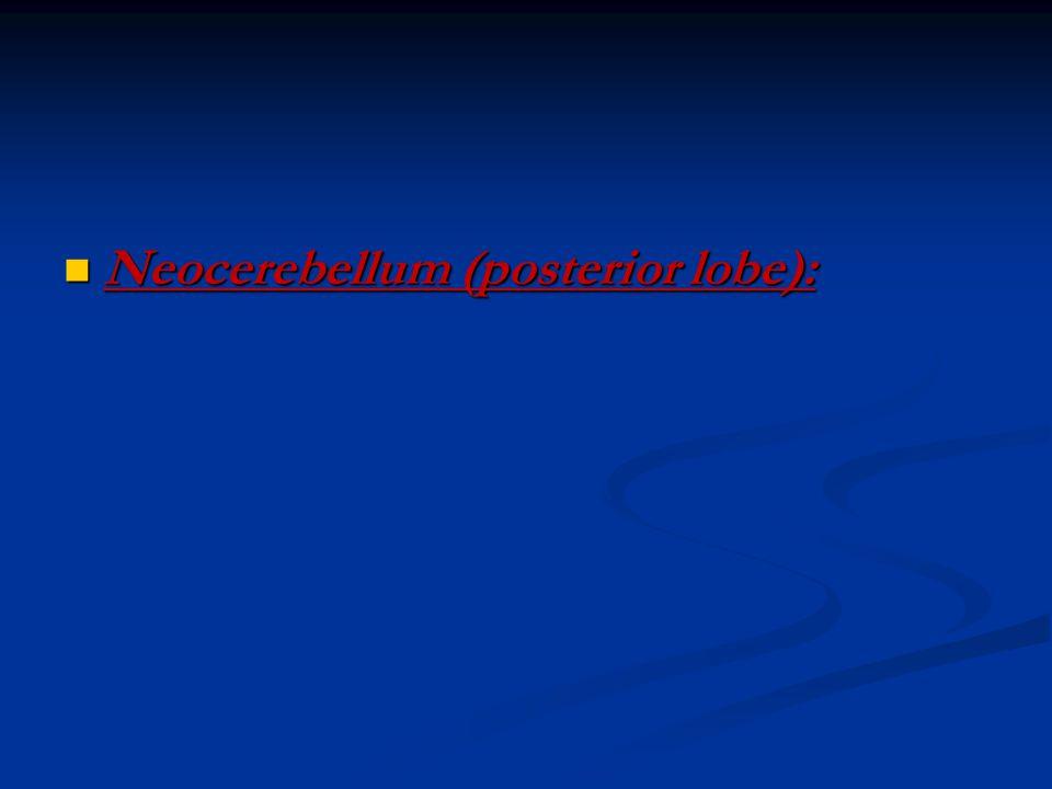 Neocerebellum (posterior lobe): Neocerebellum (posterior lobe):