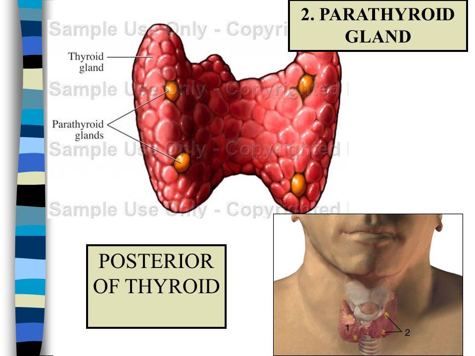 POSTERIOR OF THYROID 2. PARATHYROID GLAND