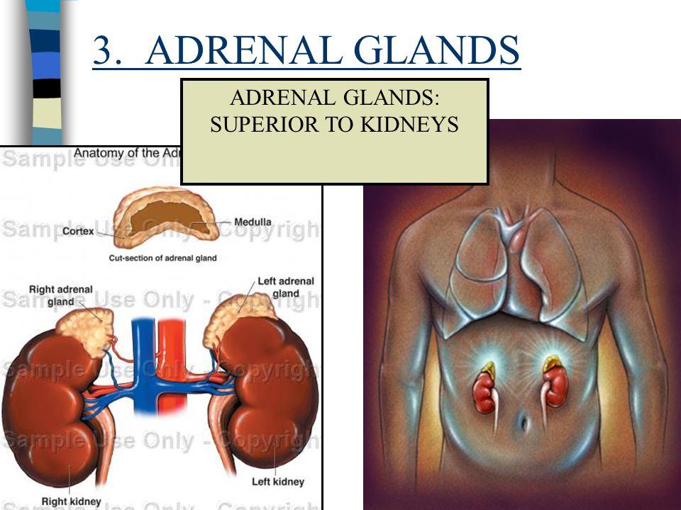 3. ADRENAL GLANDS ADRENAL GLANDS: SUPERIOR TO KIDNEYS
