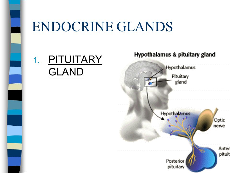 ENDOCRINE GLANDS 1. PITUITARY GLAND