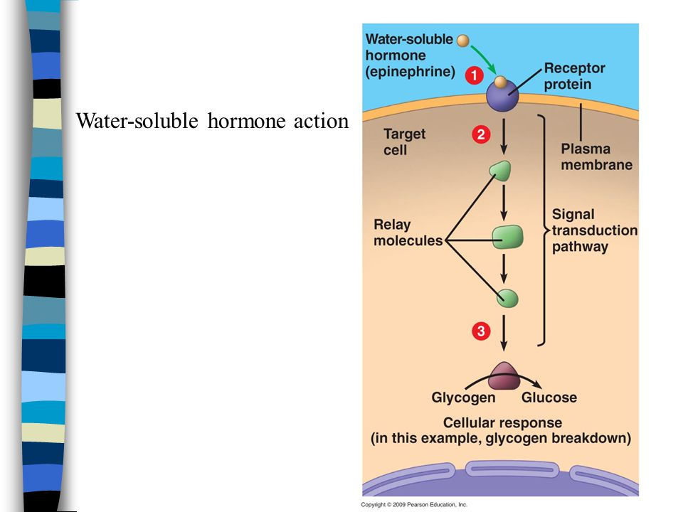 Water-soluble hormone action