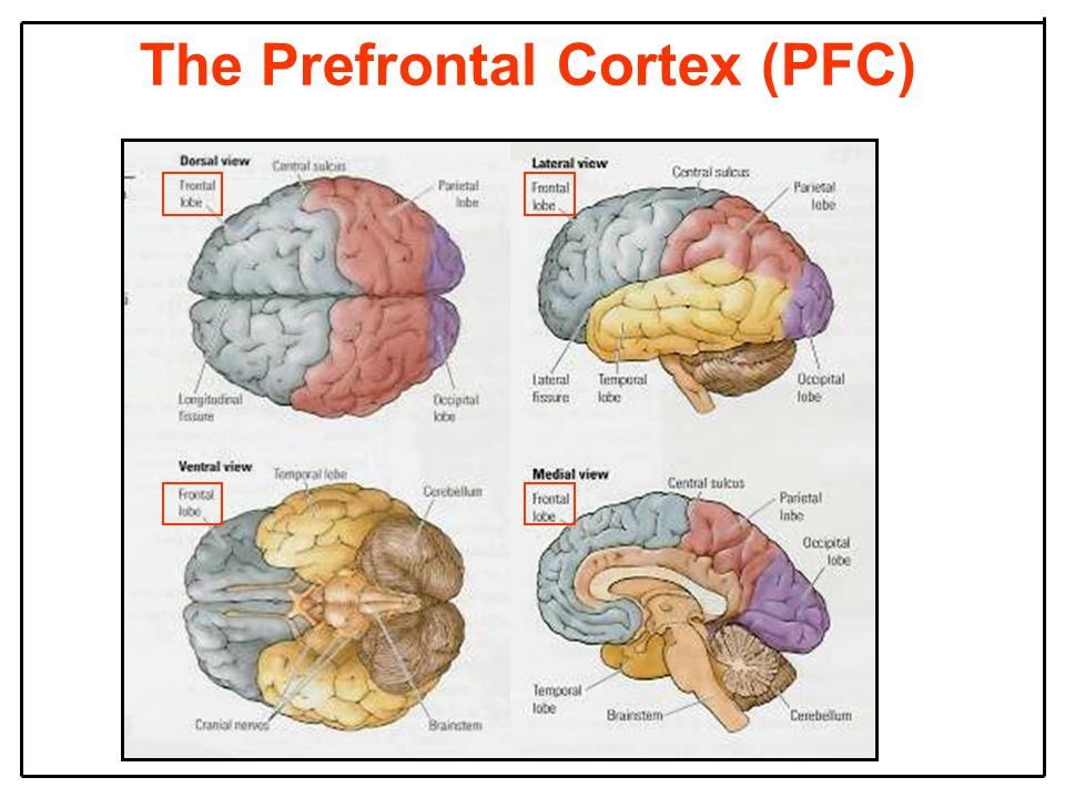 The Prefrontal Cortex (PFC)