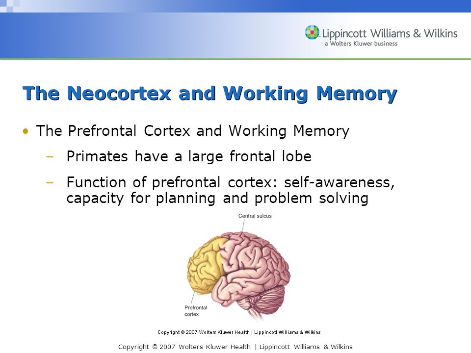 Copyright © 2007 Wolters Kluwer Health | Lippincott Williams & Wilkins The Neocortex and Working Memory The Prefrontal Cortex and Working Memory –Primates have a large frontal lobe –Function of prefrontal cortex: self-awareness, capacity for planning and problem solving