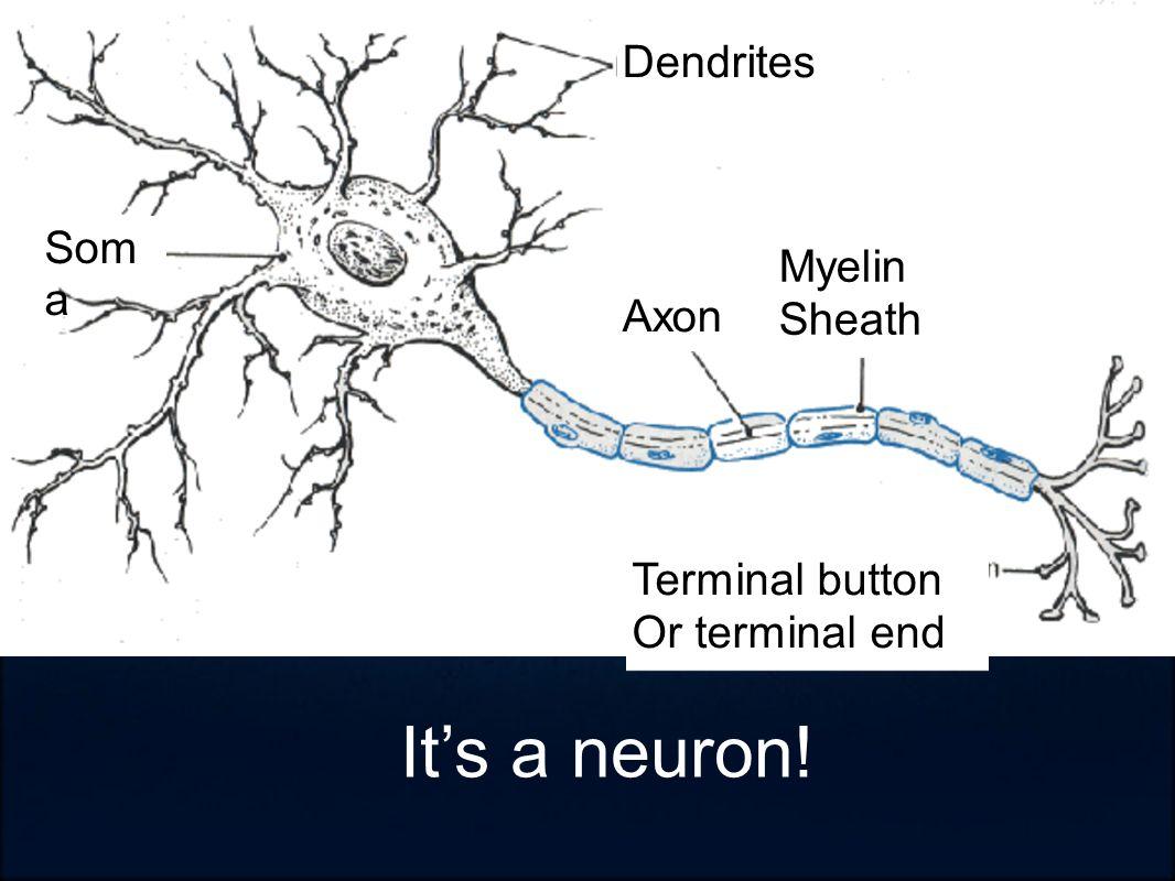 Dendrites Axon Myelin Sheath Terminal button Or terminal end Som a It's a neuron!