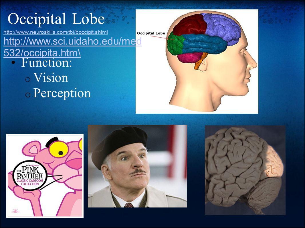 Occipital Lobe Function: o Vision o Perception http://www.neuroskills.com/tbi/boccipit.shtml http://www.sci.uidaho.edu/med 532/occipita.htm\