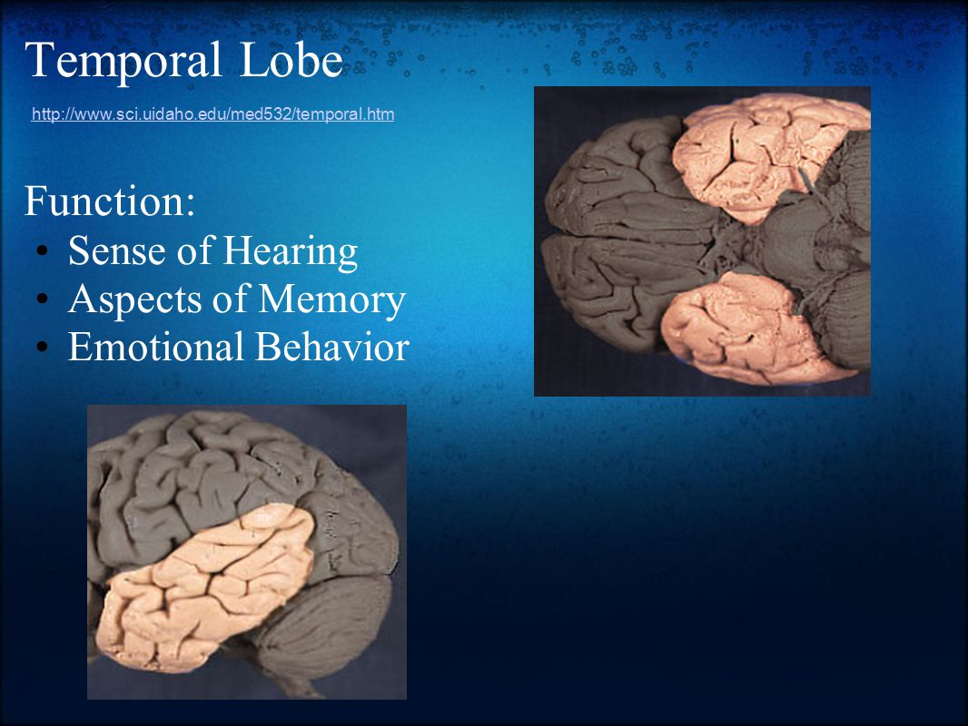Temporal Lobe Function: Sense of Hearing Aspects of Memory Emotional Behavior http://www.sci.uidaho.edu/med532/temporal.htm