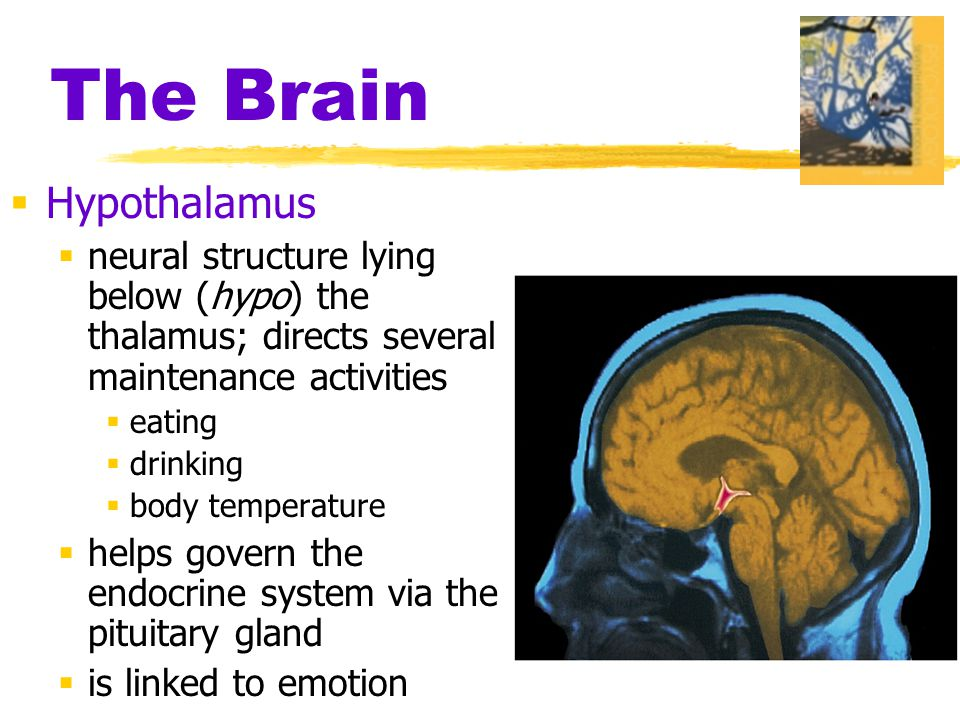 The Brain  Hypothalamus  neural structure lying below (hypo) the thalamus; directs several maintenance activities  eating  drinking  body temperature  helps govern the endocrine system via the pituitary gland  is linked to emotion