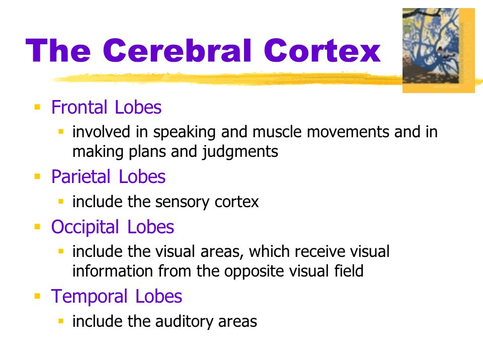 The Cerebral Cortex  Frontal Lobes  involved in speaking and muscle movements and in making plans and judgments  Parietal Lobes  include the sensory cortex  Occipital Lobes  include the visual areas, which receive visual information from the opposite visual field  Temporal Lobes  include the auditory areas