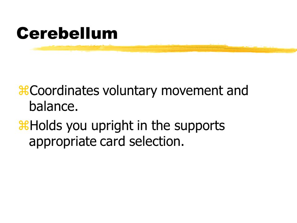 Cerebellum zCoordinates voluntary movement and balance.