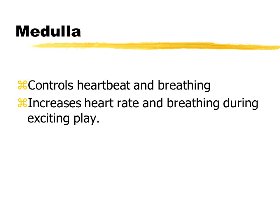 Medulla zControls heartbeat and breathing zIncreases heart rate and breathing during exciting play.