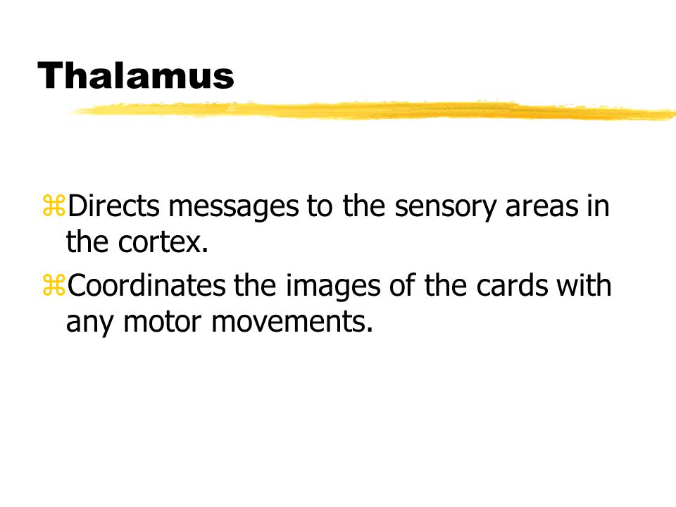 Thalamus zDirects messages to the sensory areas in the cortex.