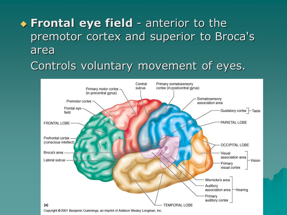  Frontal eye field - anterior to the premotor cortex and superior to Broca s area  Frontal eye field - anterior to the premotor cortex and superior to Broca s area Controls voluntary movement of eyes.