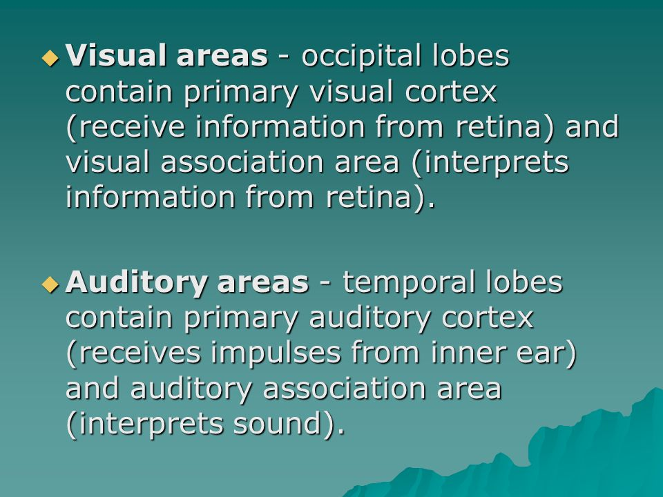  Visual areas - occipital lobes contain primary visual cortex (receive information from retina) and visual association area (interprets information from retina).