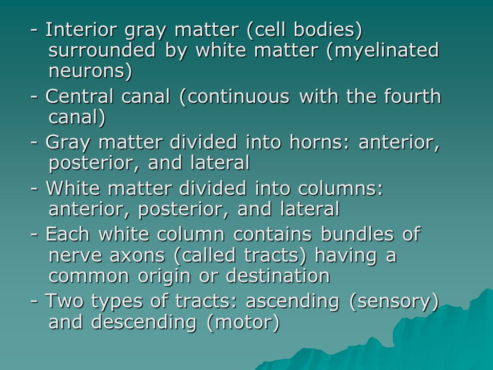 - Interior gray matter (cell bodies) surrounded by white matter (myelinated neurons) - Central canal (continuous with the fourth canal) - Gray matter