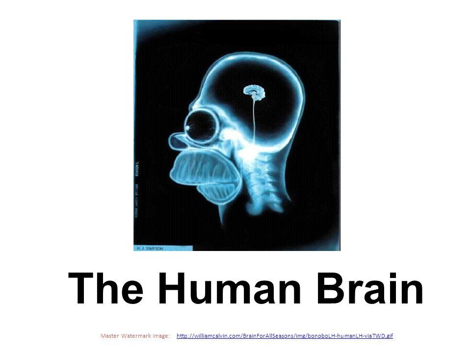 Cerebrum - The largest division of the brain.